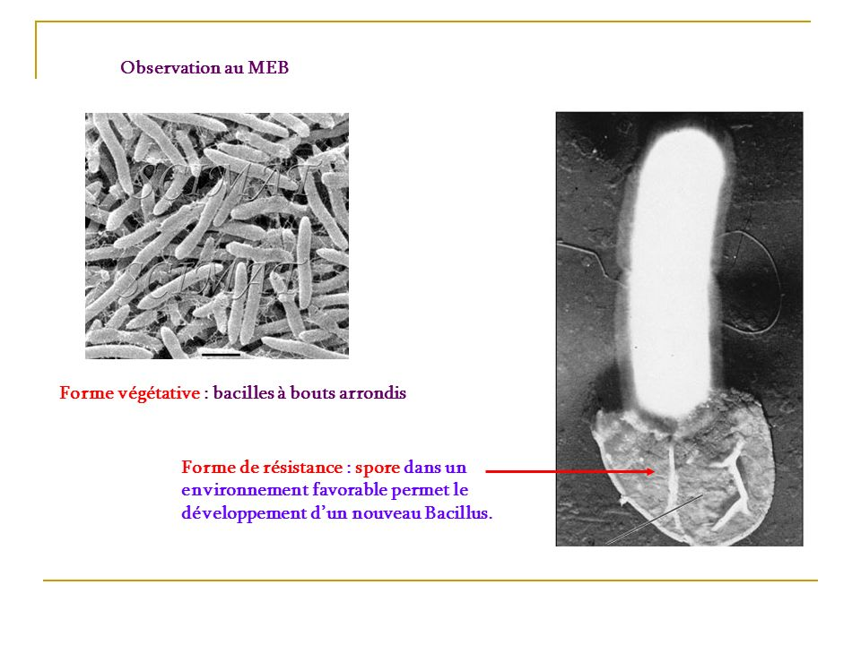Observation au MEBForme végétative : bacilles à bouts arrondis.