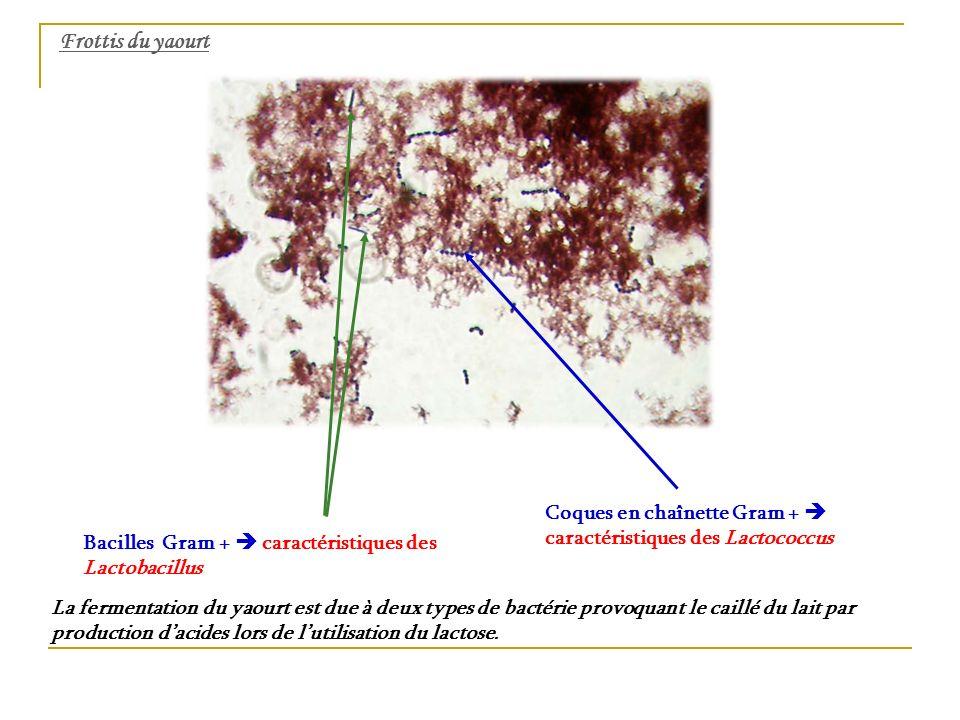 Frottis du yaourt Coques en chaînette Gram +  caractéristiques des Lactococcus. Bacilles Gram +  caractéristiques des Lactobacillus.