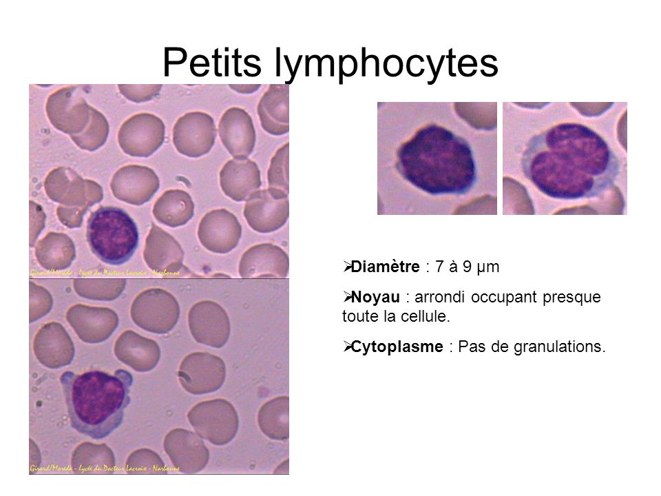 Petits lymphocytes Diamètre : 7 à 9 µm