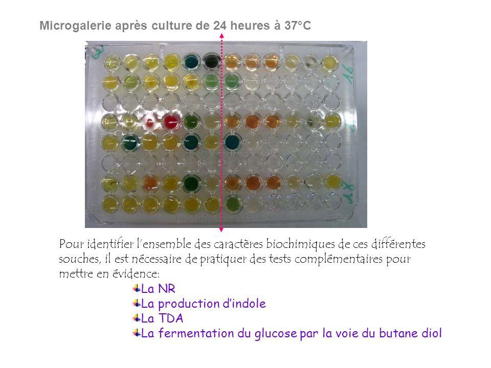 Microgalerie après culture de 24 heures à 37°C
