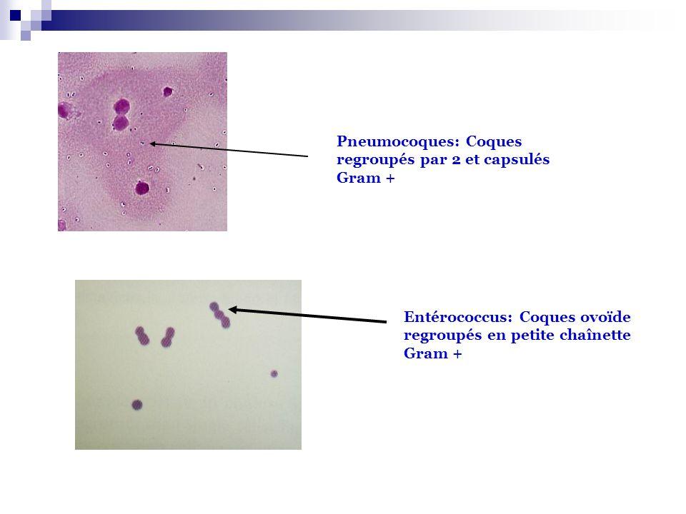 Pneumocoques: Coques regroupés par 2 et capsulés Gram +
