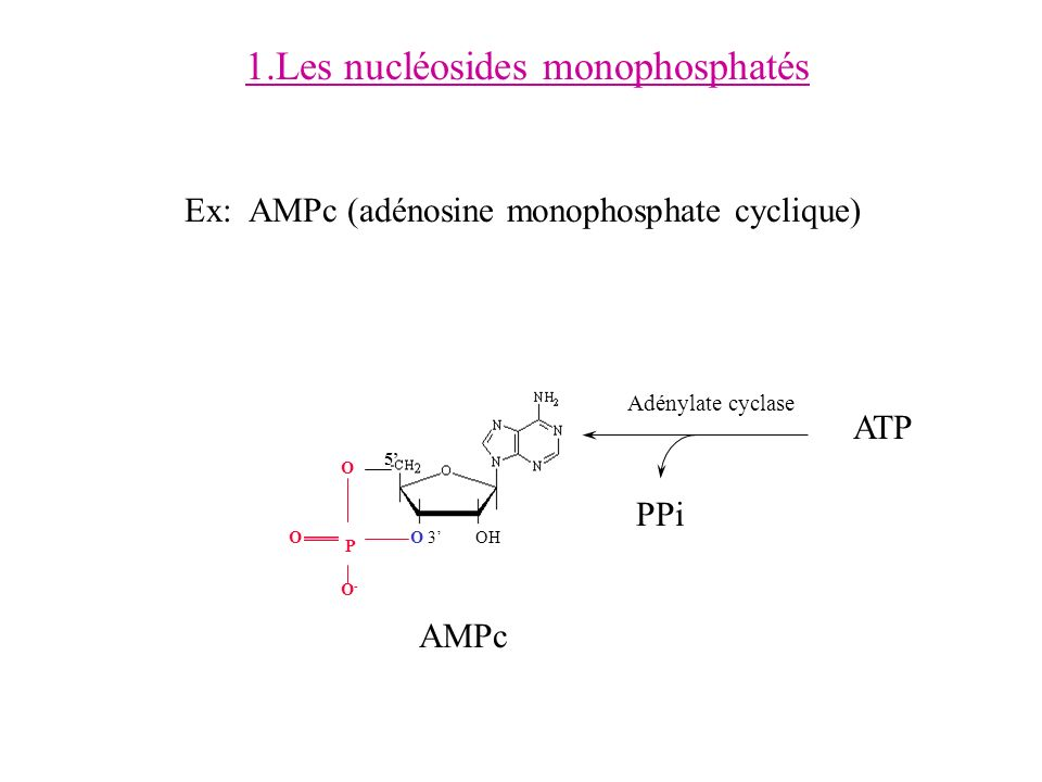 1.Les nucléosides monophosphatés