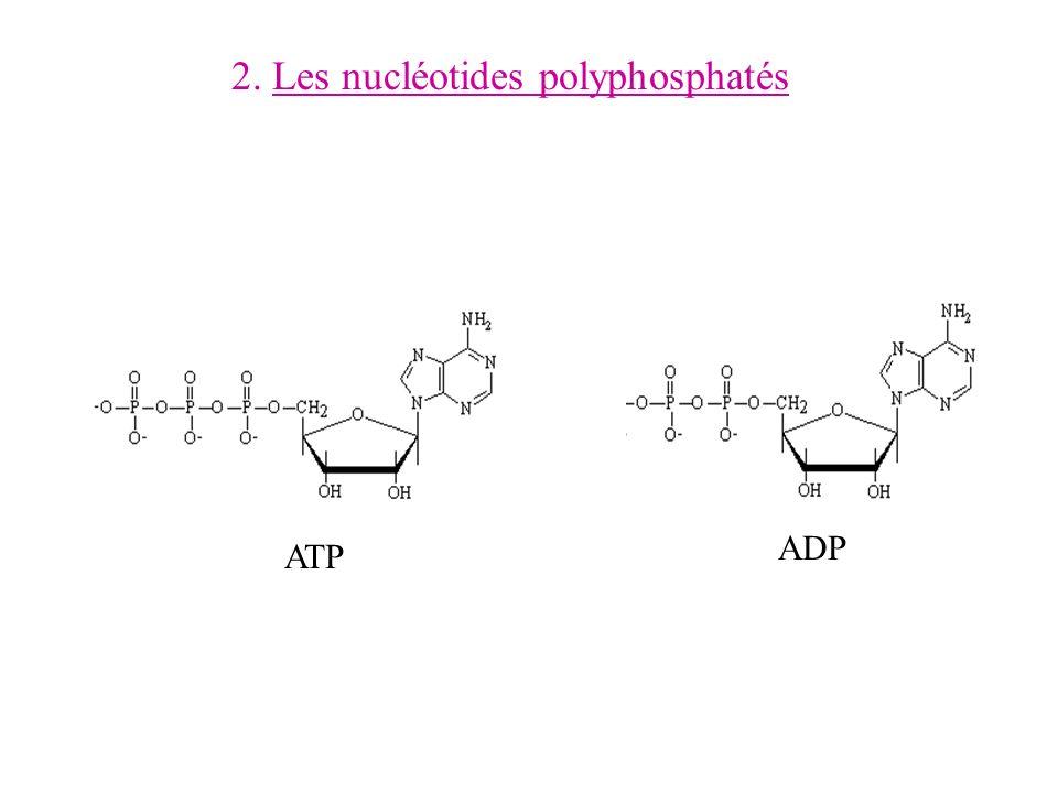 2. Les nucléotides polyphosphatés