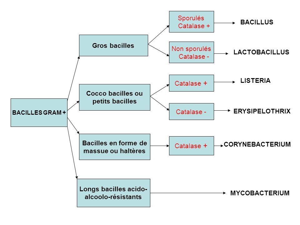 BACILLUS Sporulés Catalase + Gros bacilles Non sporulés Catalase -