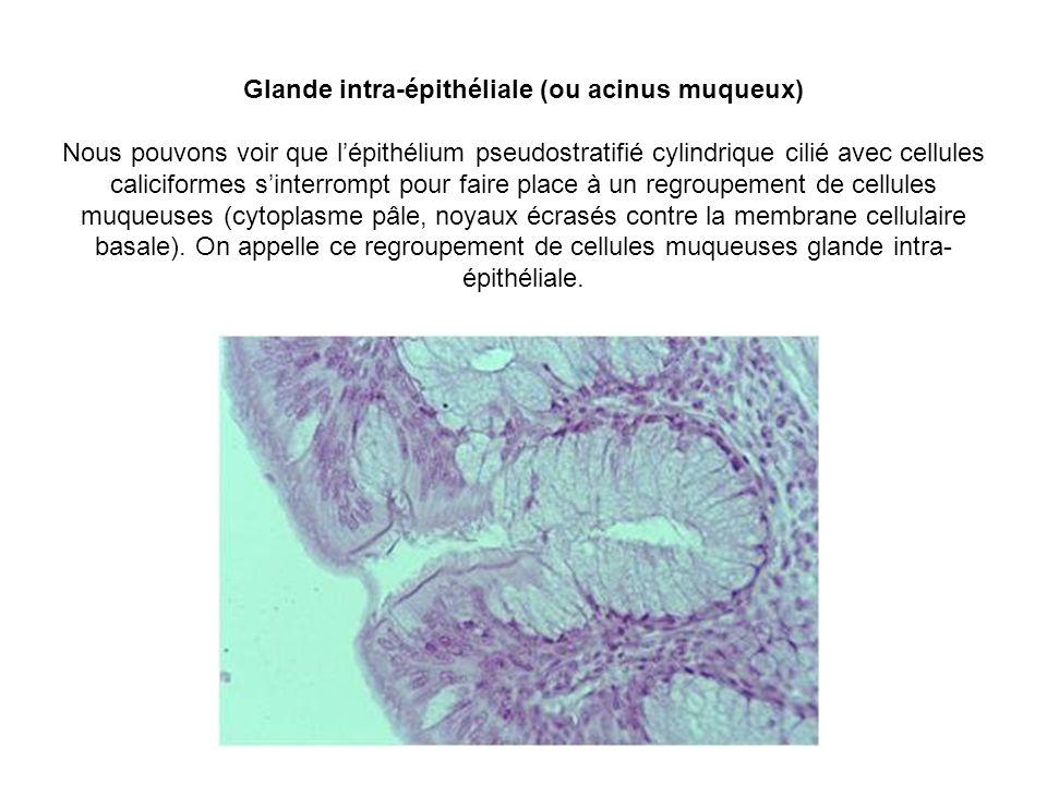 Glande intra-épithéliale (ou acinus muqueux) Nous pouvons voir que l'épithélium pseudostratifié cylindrique cilié avec cellules caliciformes s'interrompt pour faire place à un regroupement de cellules muqueuses (cytoplasme pâle, noyaux écrasés contre la membrane cellulaire basale).