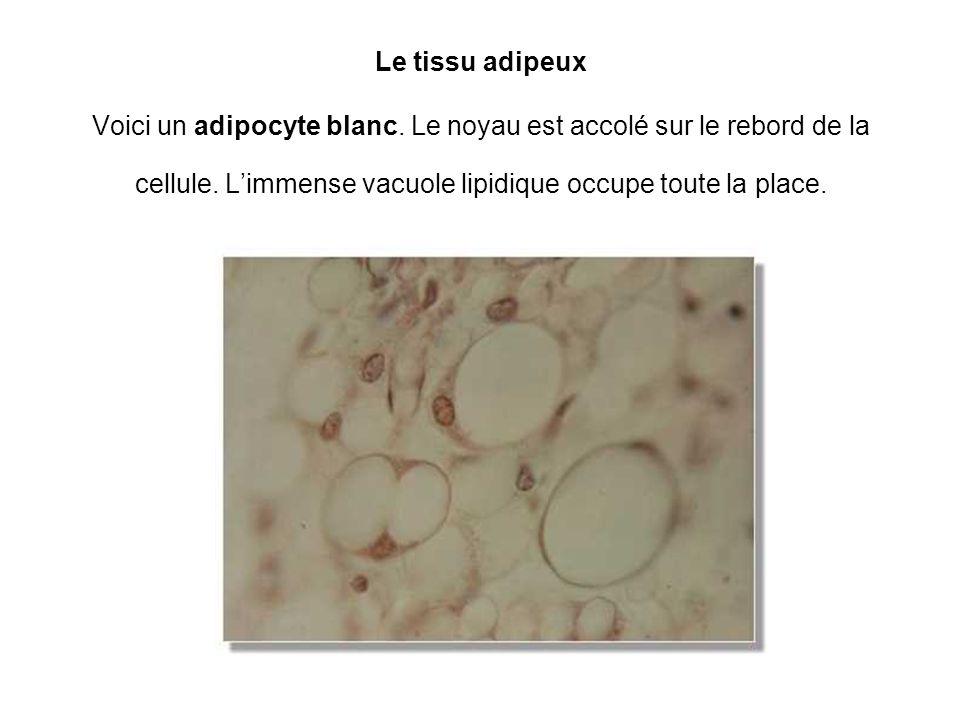 Le tissu adipeux Voici un adipocyte blanc