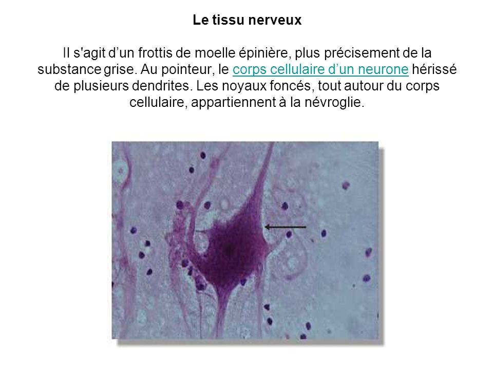 Le tissu nerveux Il s agit d'un frottis de moelle épinière, plus précisement de la substance grise.