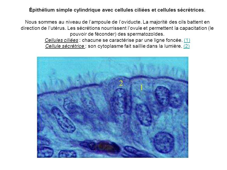 Épithélium simple cylindrique avec cellules ciliées et cellules sécrétrices.