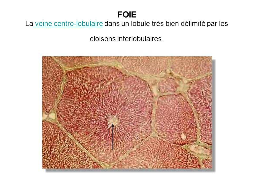 FOIE La veine centro-lobulaire dans un lobule très bien délimité par les cloisons interlobulaires.