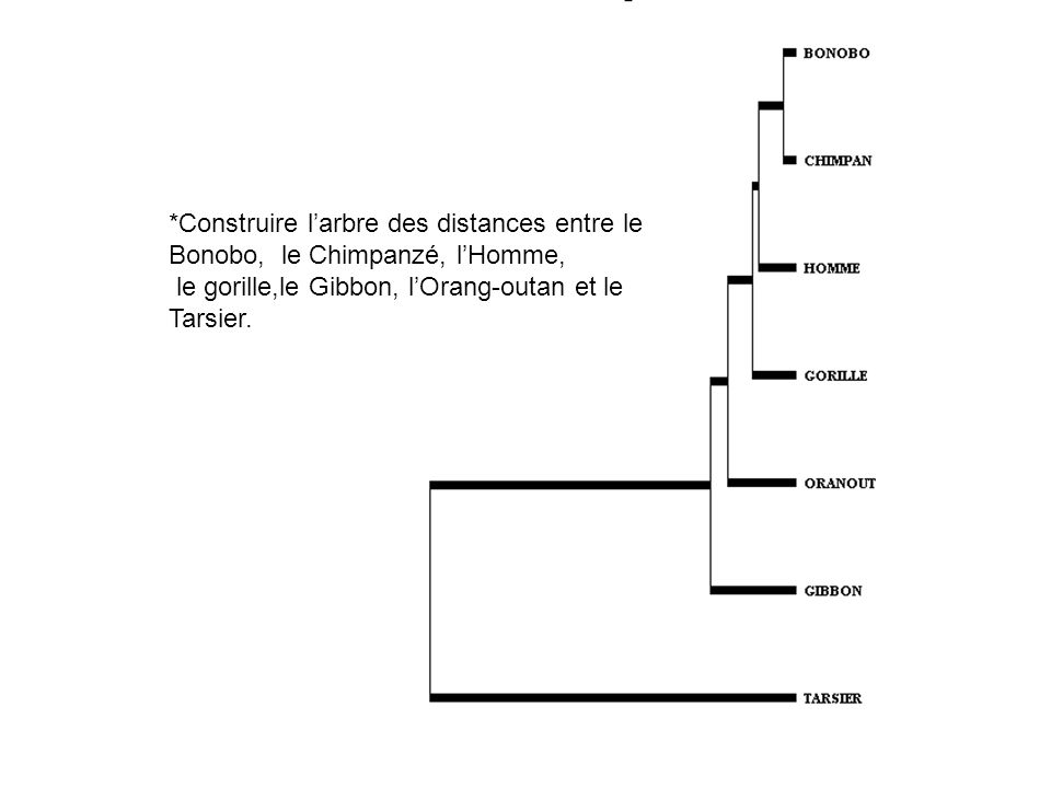 *Construire l'arbre des distances entre le Bonobo, le Chimpanzé, l'Homme,