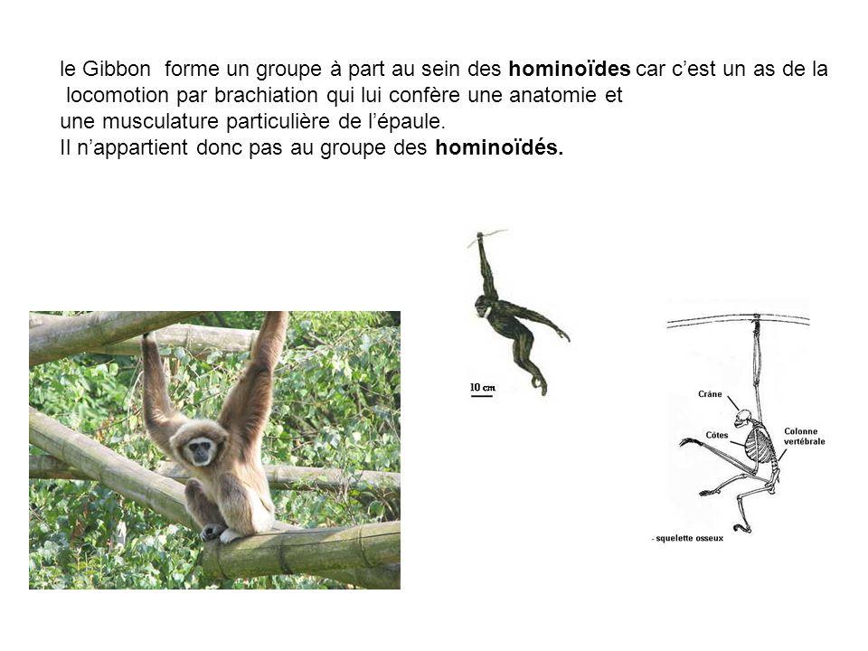 le Gibbon forme un groupe à part au sein des hominoïdes car c'est un as de la