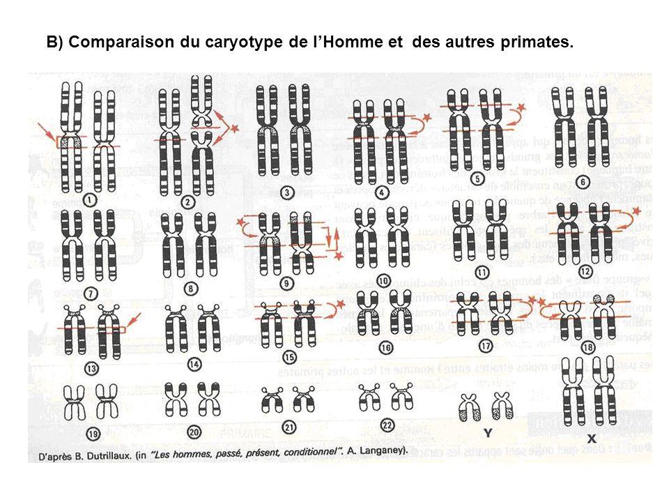 B) Comparaison du caryotype de l'Homme et des autres primates.