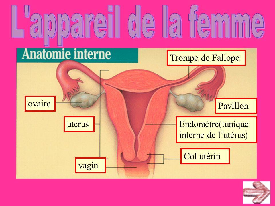 L appareil de la femme ovaire utérus vagin Col utérin