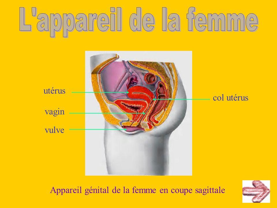 L appareil de la femme utérus col utérus vagin vulve