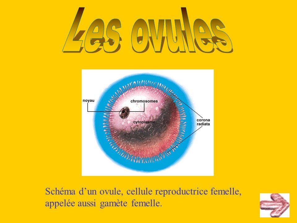 Les ovules Schéma d'un ovule, cellule reproductrice femelle, appelée aussi gamète femelle.