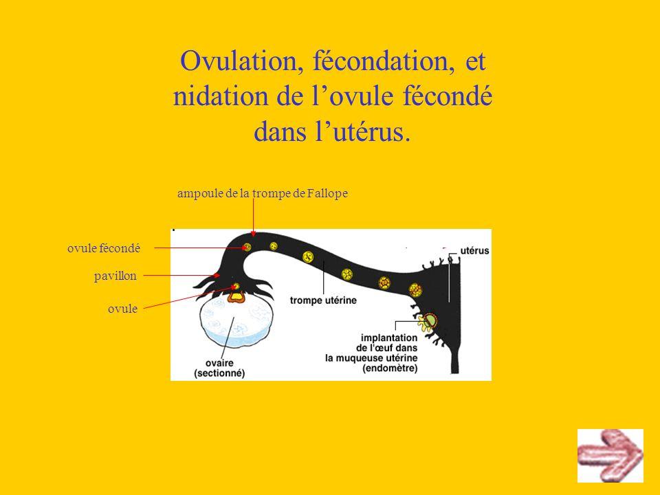 Ovulation, fécondation, et nidation de l'ovule fécondé dans l'utérus.