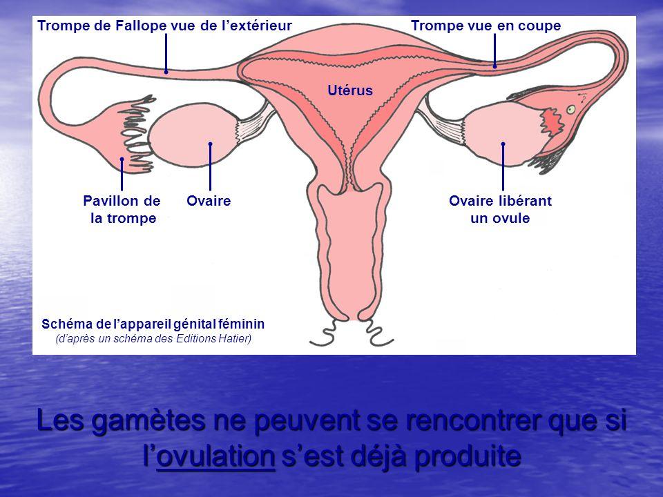 Utérus Trompe de Fallope vue de l'extérieur. Trompe vue en coupe. Pavillon de. la trompe. Ovaire.