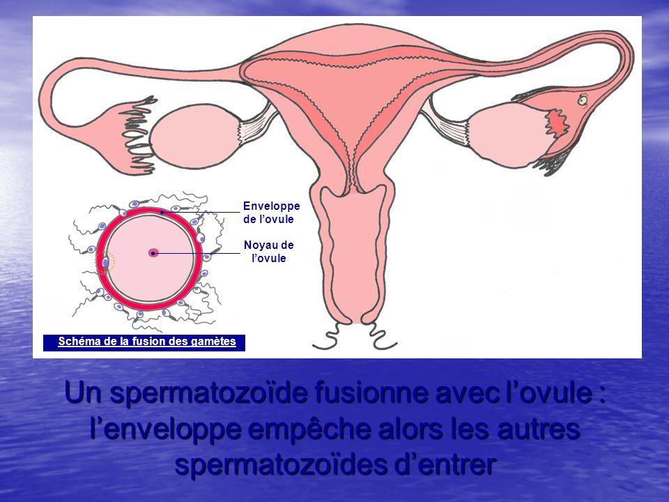 Noyau de l'ovule. Enveloppe. de l'ovule. Schéma de la rencontre des gamètes. Schéma de la fusion des gamètes.