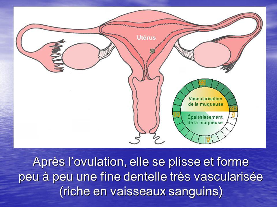Utérus Muqueuse. utérine. dentelée et. vascularisée. Vascularisation. de la muqueuse. Paroi. musculaire.