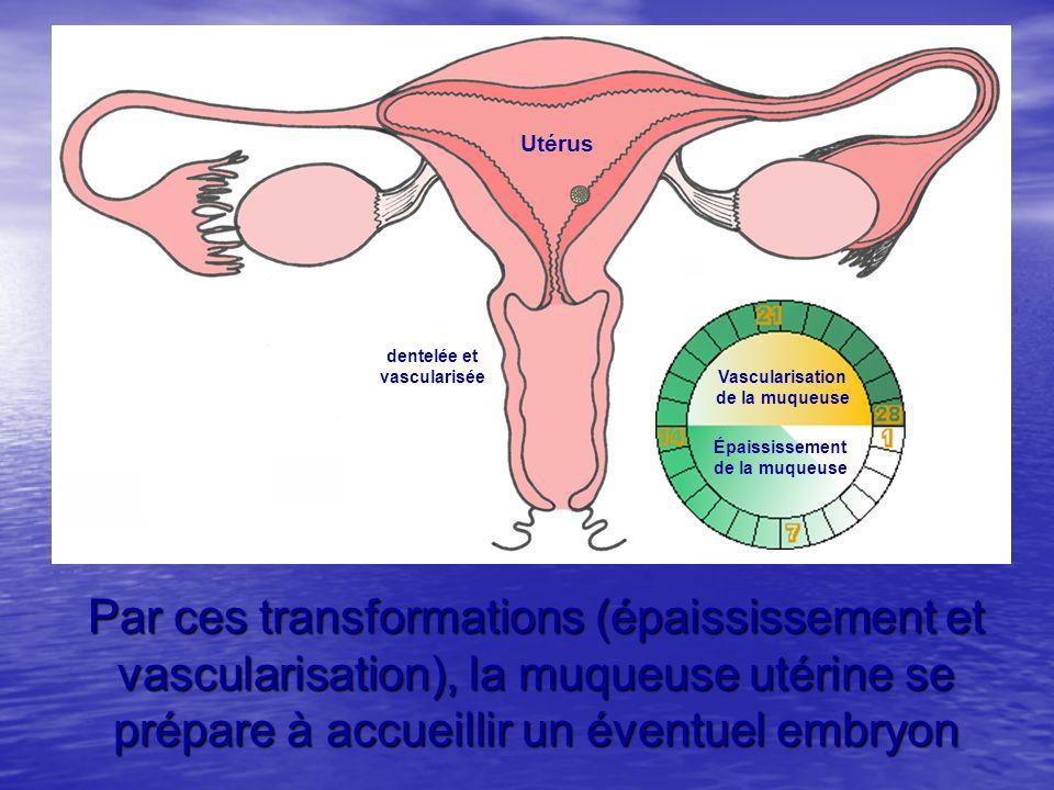 Utérus Épaississement. de la muqueuse. Vascularisation. dentelée et. vascularisée.