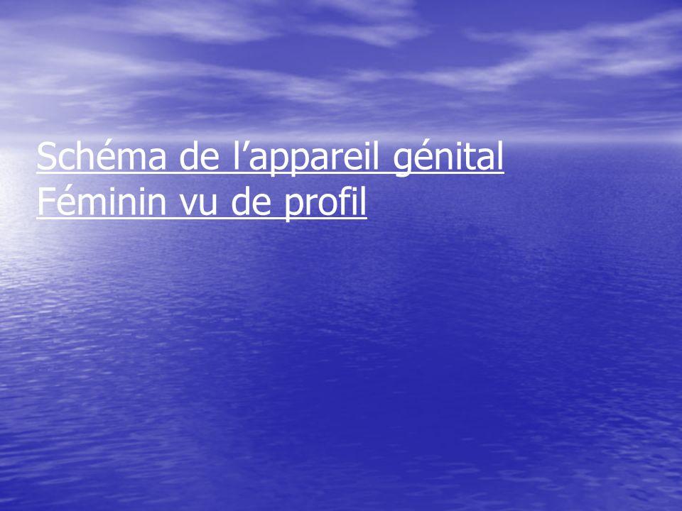 Schéma de l'appareil génital Féminin vu de profil