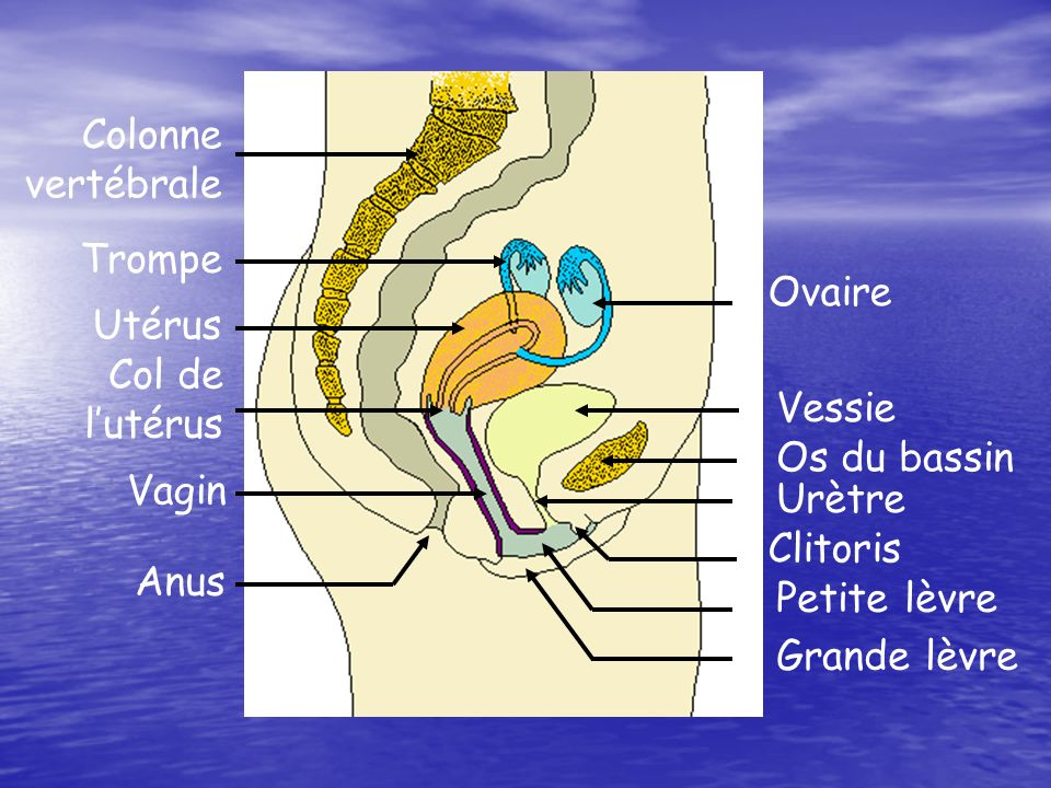 Colonne vertébrale. Trompe. Ovaire. Utérus. Col de. l'utérus. Vessie. Os du bassin. Vagin. Urètre.