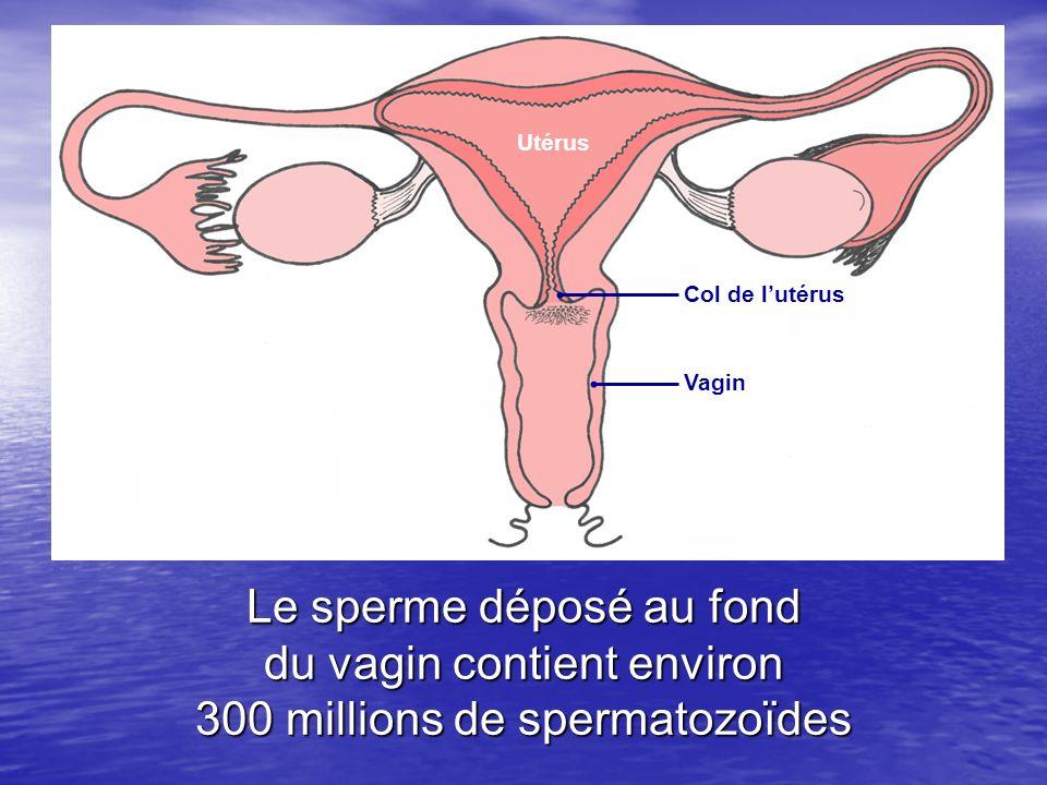 Utérus Col de l'utérus. Vagin. Schéma de l'appareil génital féminin. (d'après un schéma des Editions Hatier)