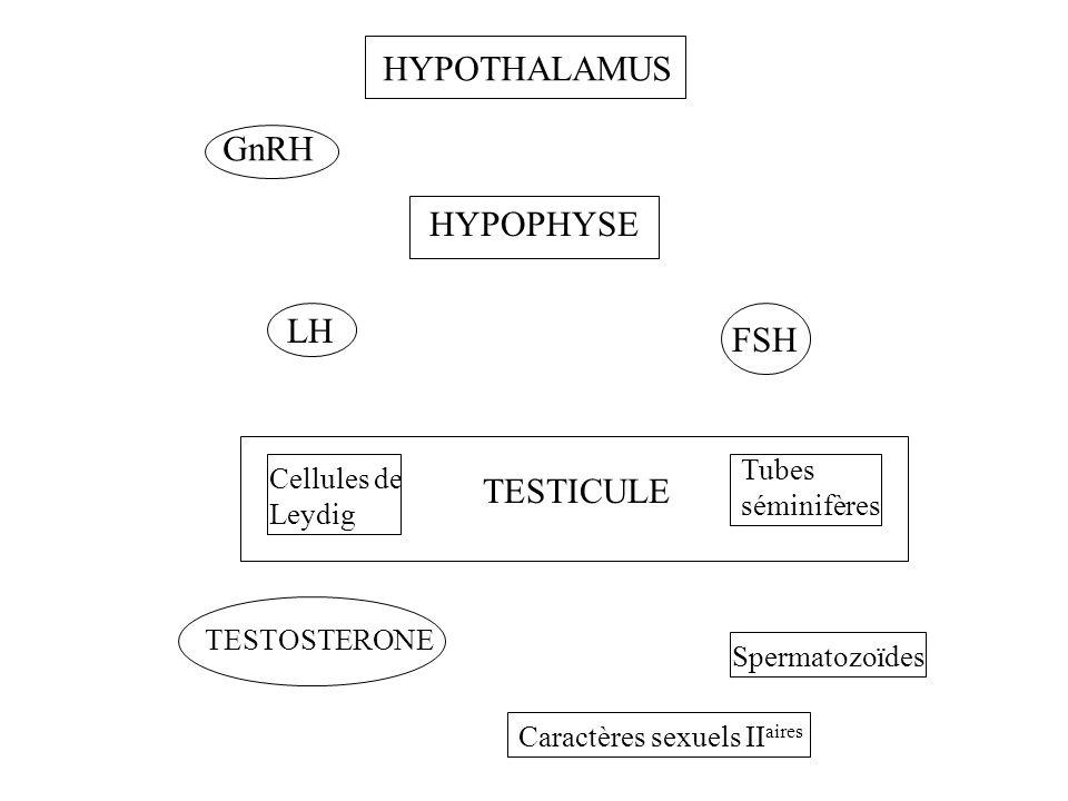 HYPOTHALAMUS GnRH HYPOPHYSE LH FSH TESTICULE Tubes séminifères