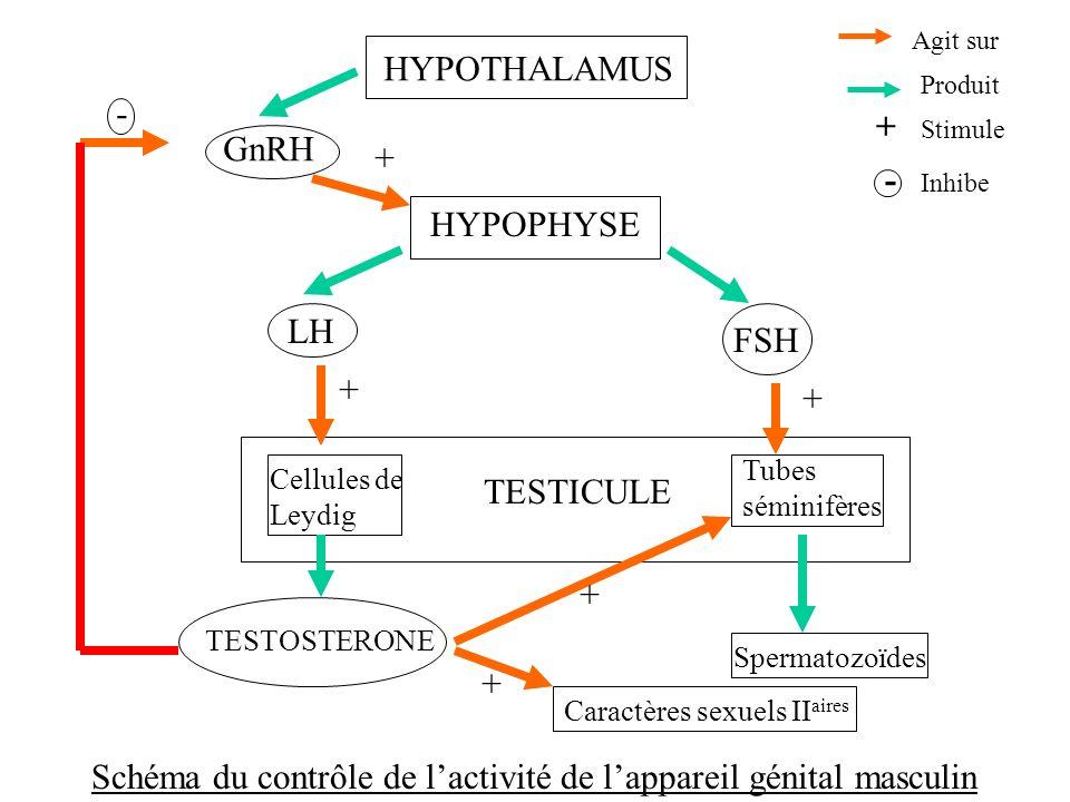 Schéma du contrôle de l'activité de l'appareil génital masculin