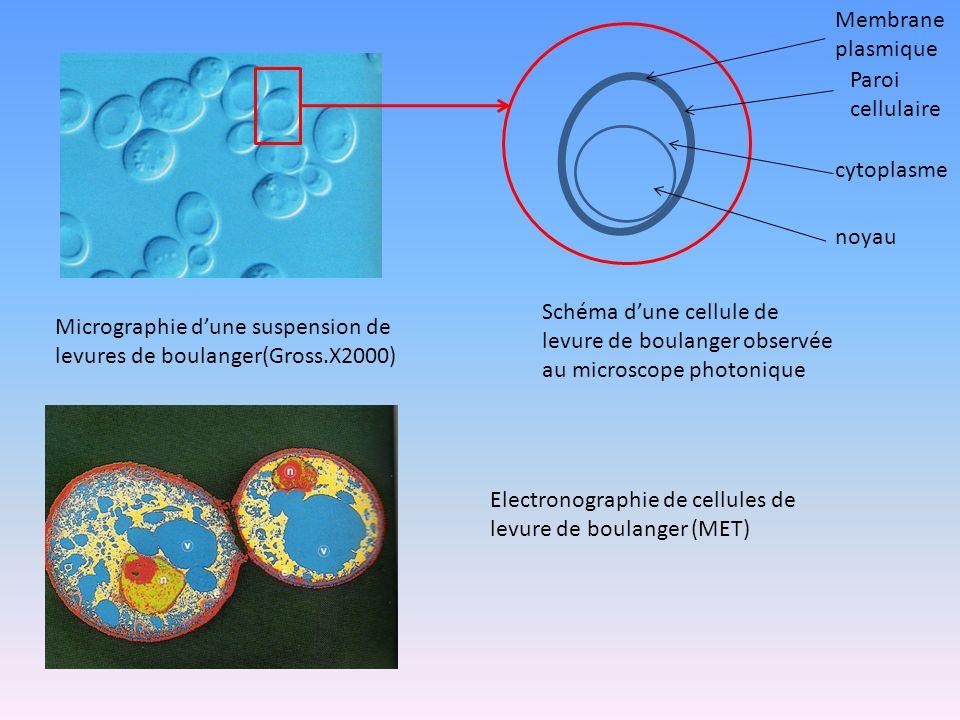 Membrane plasmique Paroi cellulaire. cytoplasme. noyau. Schéma d'une cellule de levure de boulanger observée au microscope photonique.