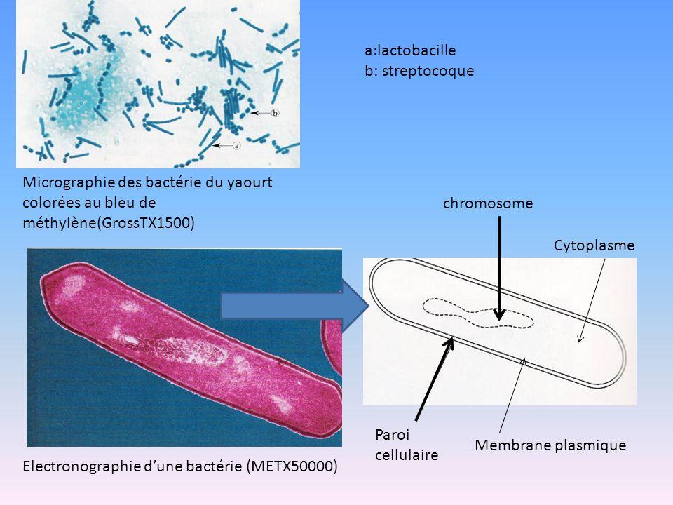 a:lactobacille b: streptocoque. Micrographie des bactérie du yaourt colorées au bleu de méthylène(GrossTX1500)