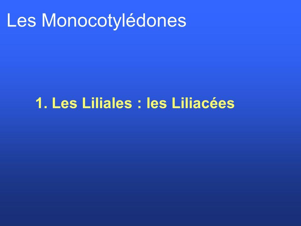 Les Monocotylédones 1. Les Liliales : les Liliacées