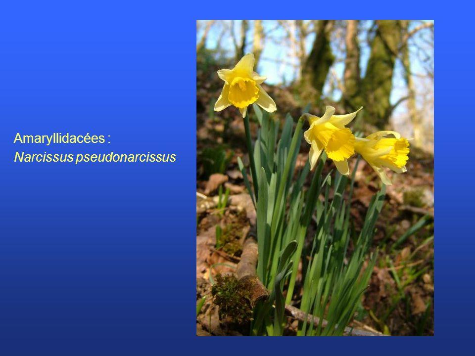 Amaryllidacées : Narcissus pseudonarcissus