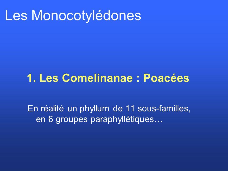 Les Monocotylédones 1. Les Comelinanae : Poacées