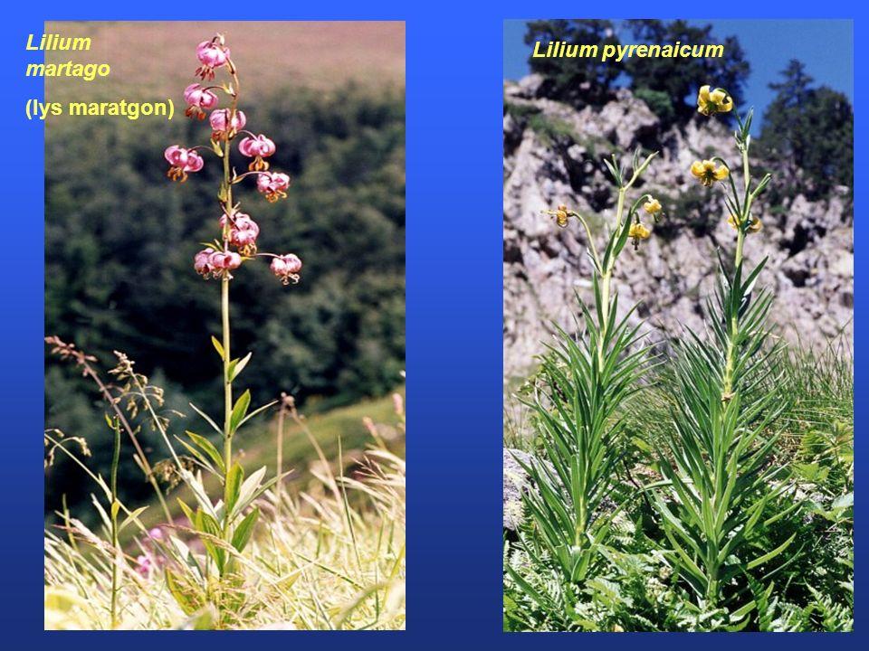 Lilium martago (lys maratgon) Lilium pyrenaicum
