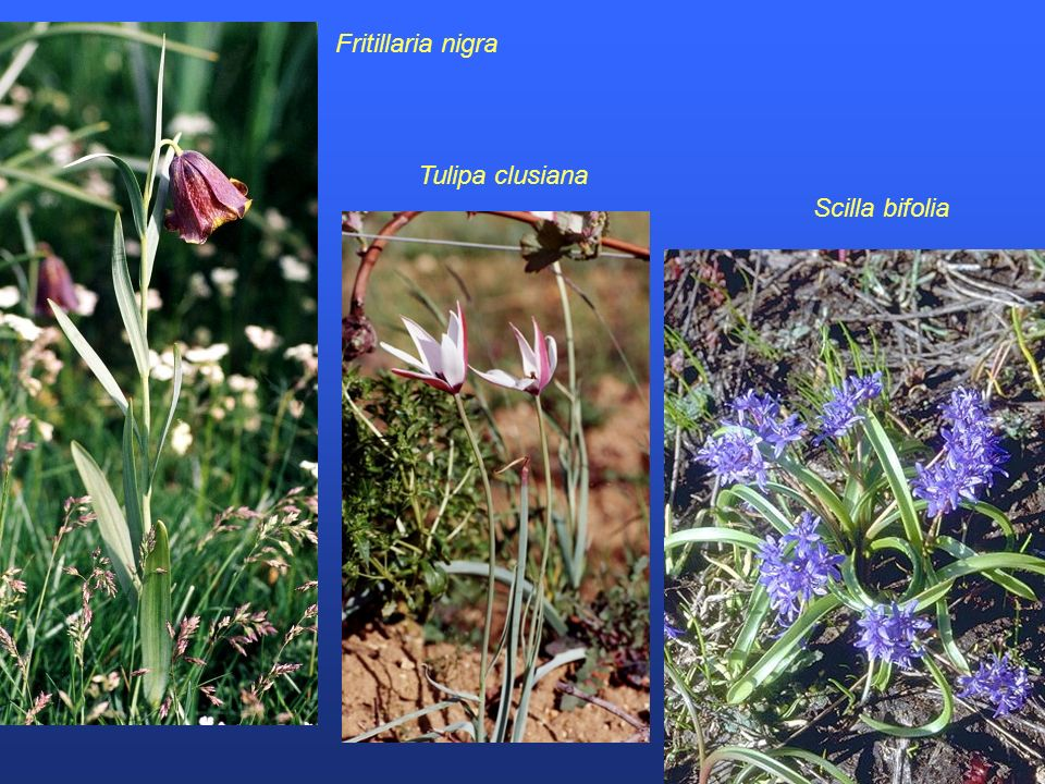 Fritillaria nigra Tulipa clusiana Scilla bifolia