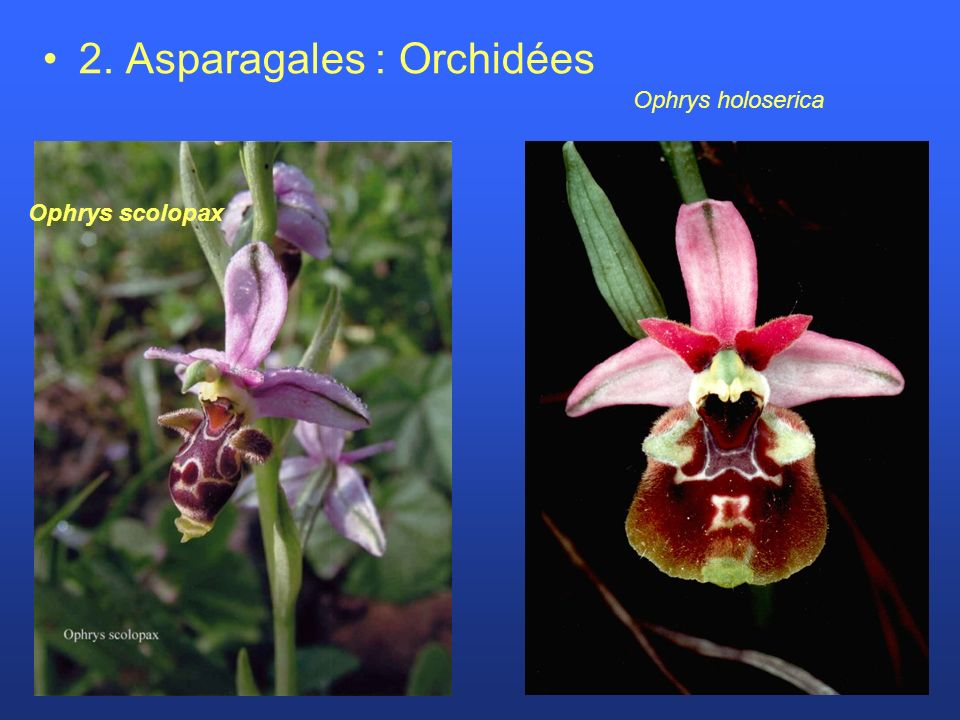 2. Asparagales : Orchidées