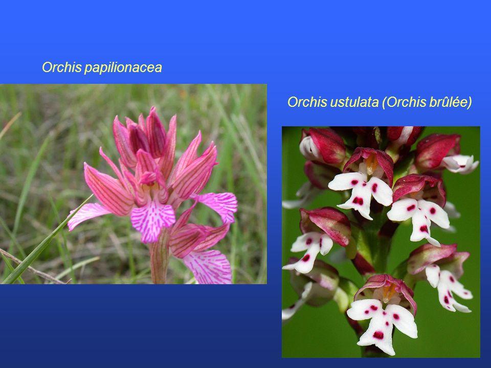 Orchis papilionacea Orchis ustulata (Orchis brûlée)