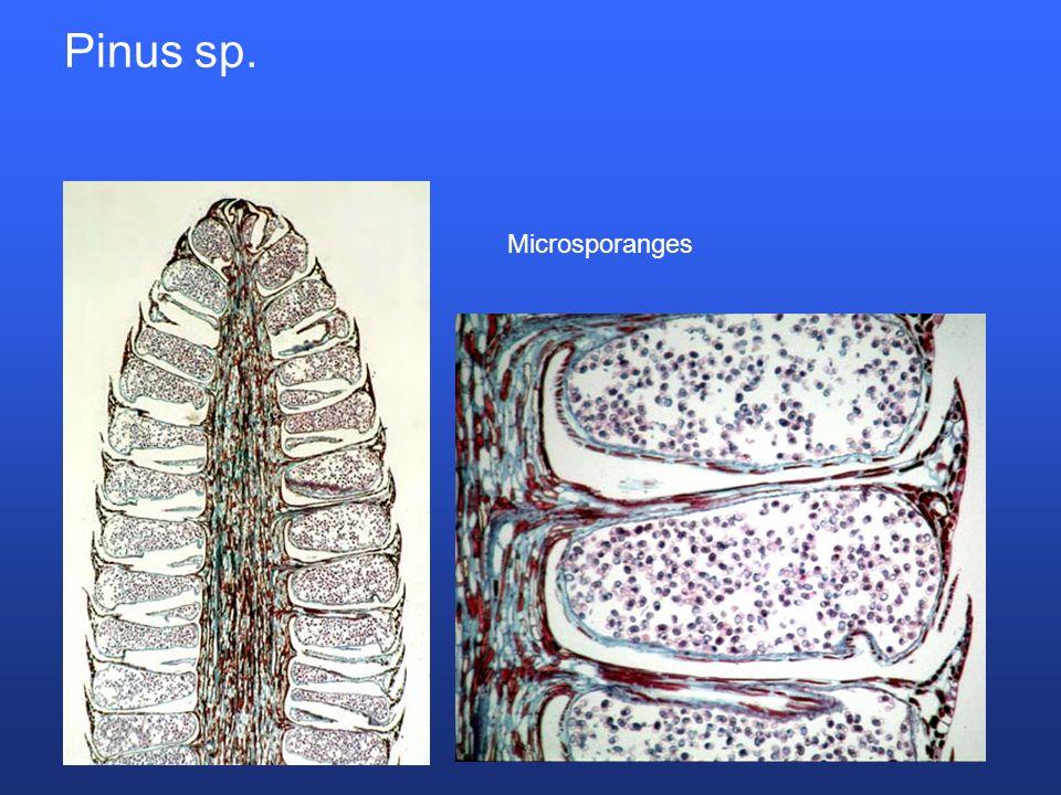 Pinus sp. Microsporanges