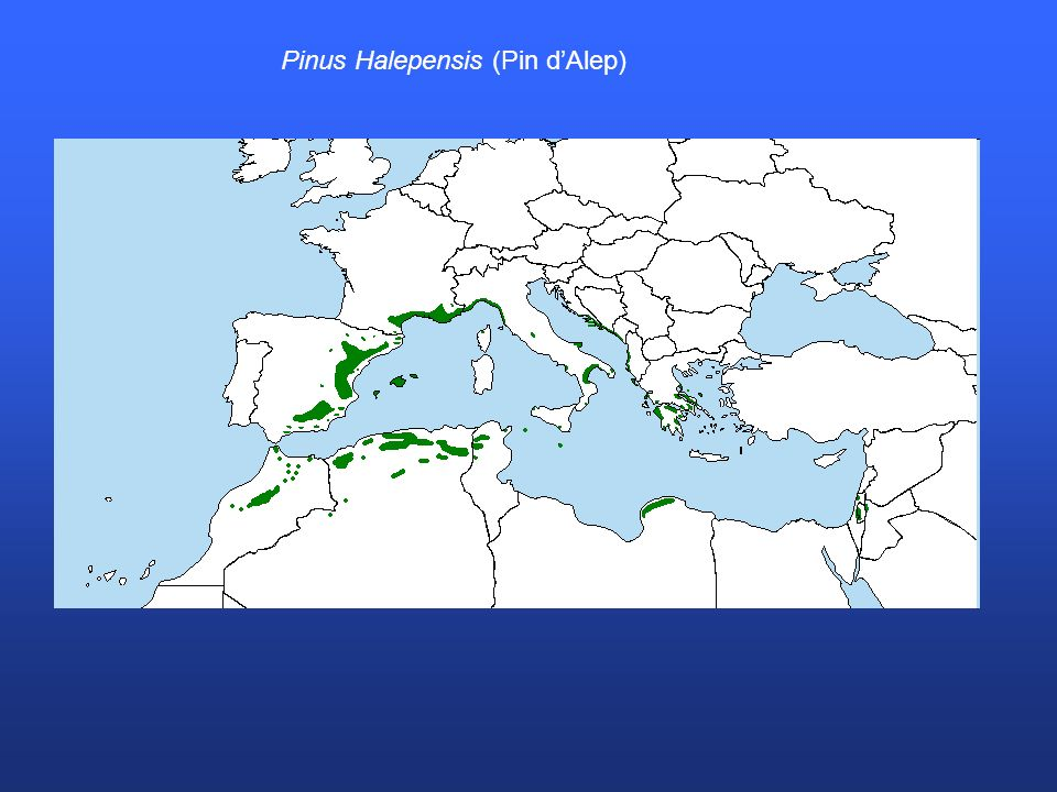 Pinus Halepensis (Pin d'Alep)