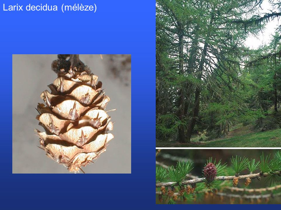 Larix decidua (mélèze)