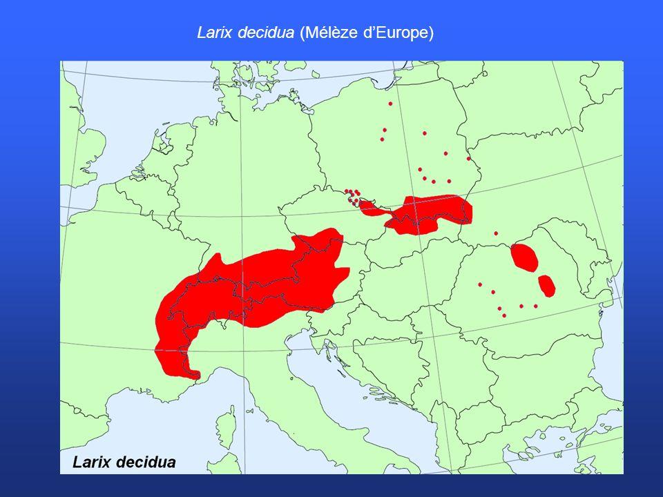 Larix decidua (Mélèze d'Europe)