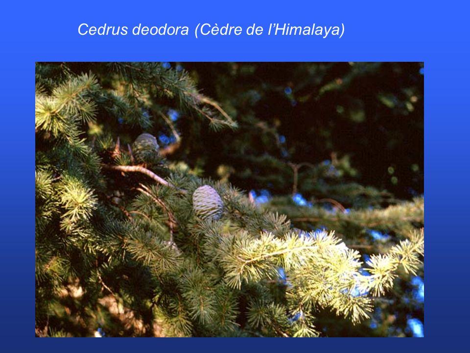 Cedrus deodora (Cèdre de l'Himalaya)