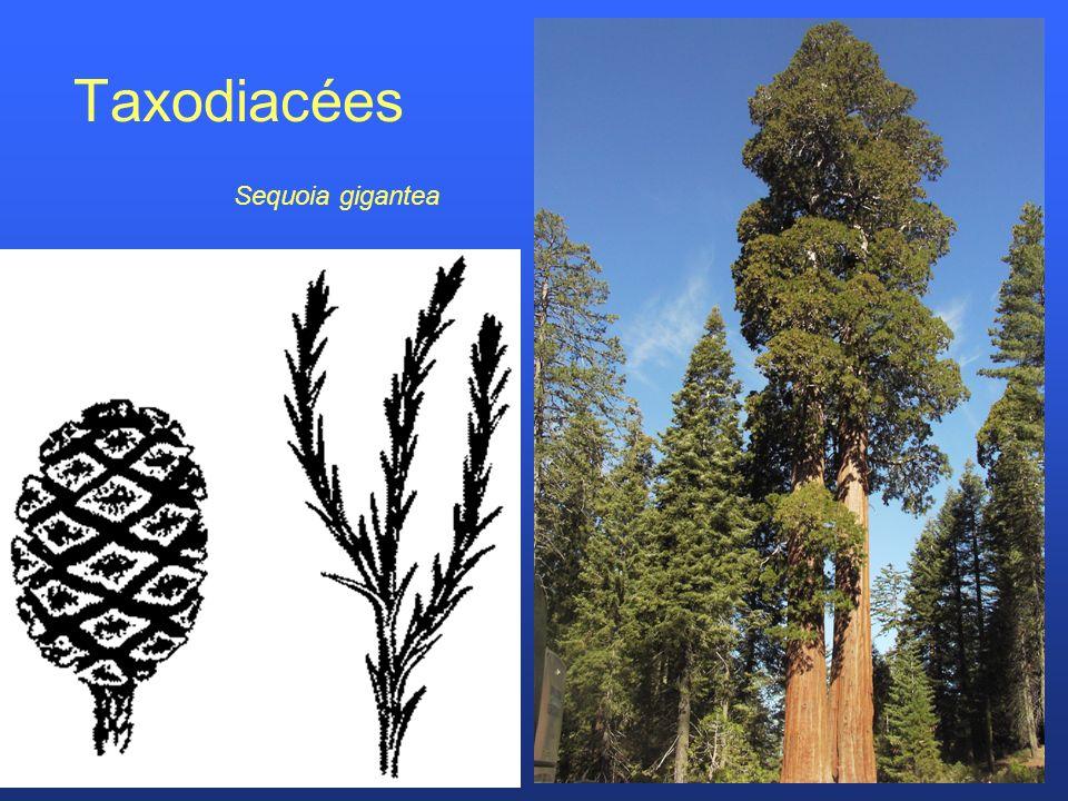 Taxodiacées Sequoia gigantea