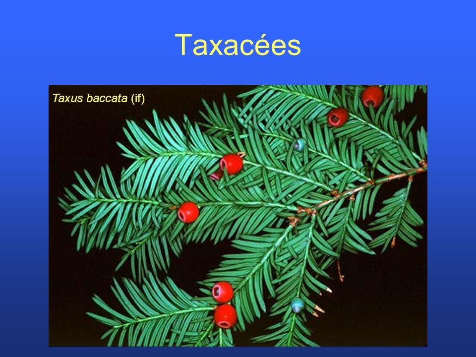 Taxacées Taxus baccata (if)