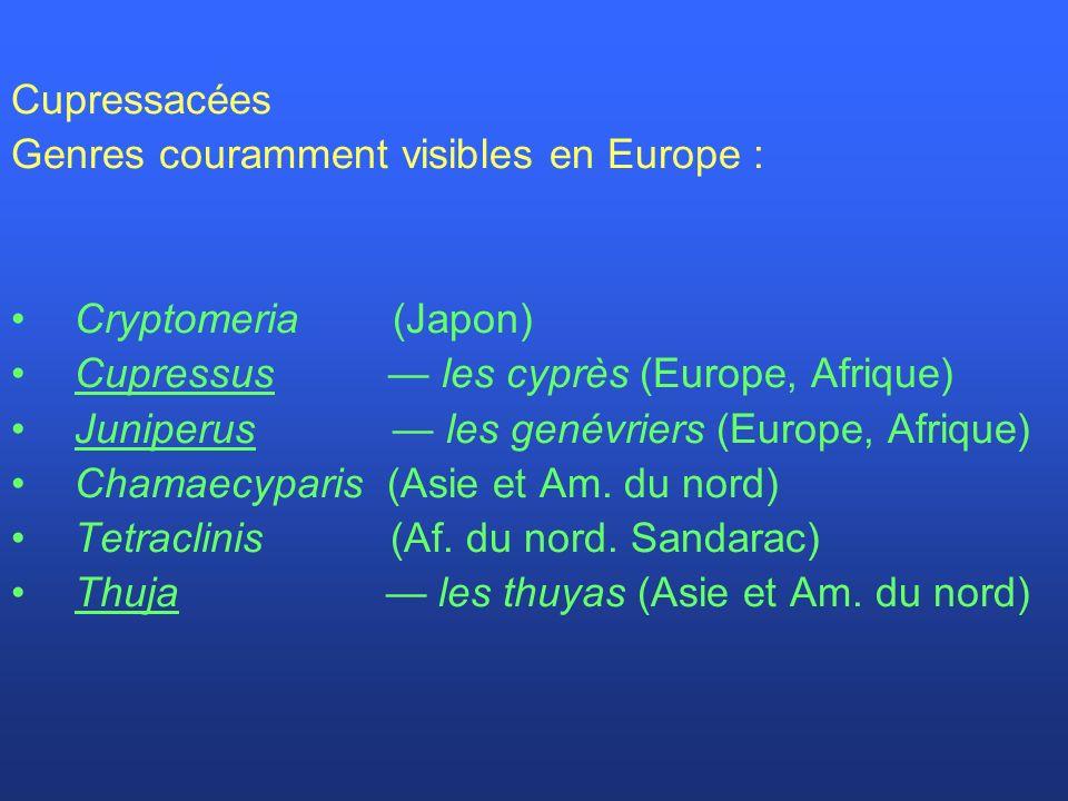 Cupressacées Genres couramment visibles en Europe : Cryptomeria (Japon) Cupressus — les cyprès (Europe, Afrique)