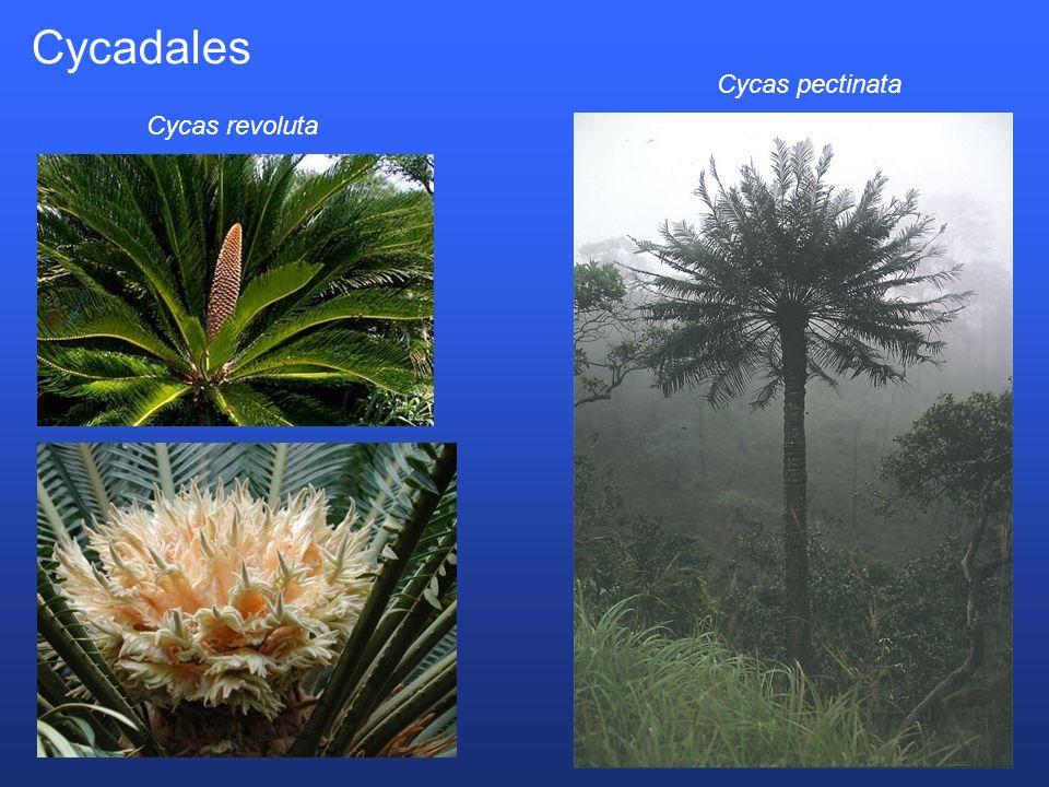 Cycadales Cycas pectinata Cycas revoluta