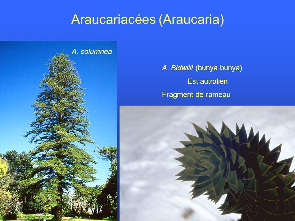 Araucariacées (Araucaria)