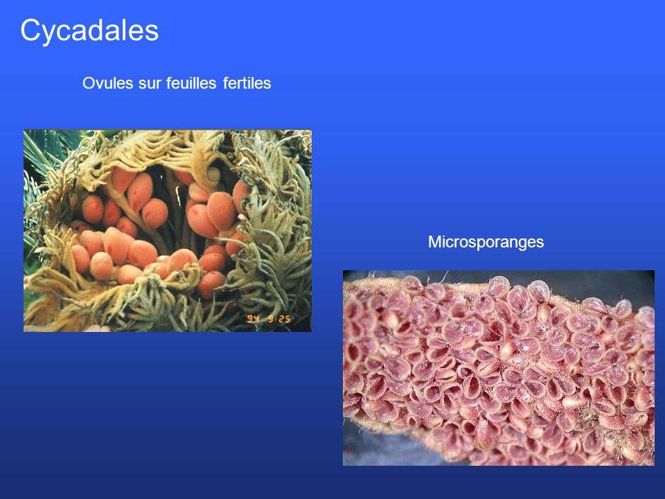 Cycadales Ovules sur feuilles fertiles Microsporanges