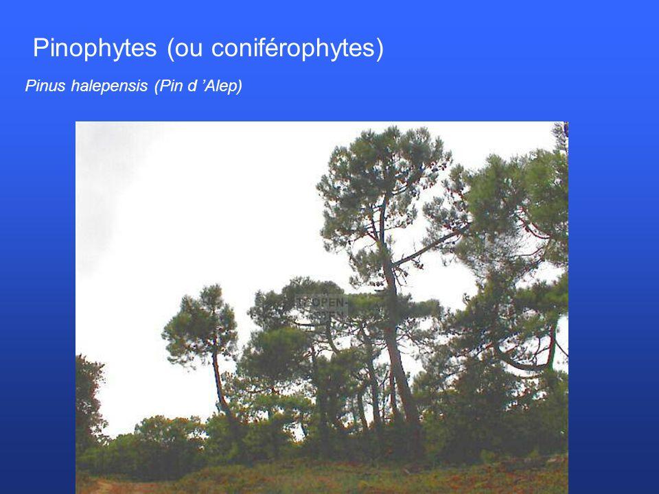 Pinophytes (ou coniférophytes)